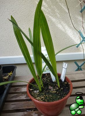 Photo of Phoenix canariensis from my collection (2014-03-02)