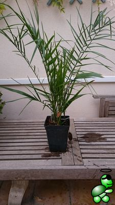 Photo of Phoenix canariensis from my collection (2016-10-09)