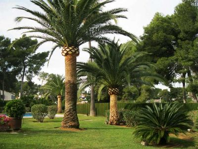 Mature specimen of Phoenix canariensis. Photo from www.podadearbolesypalmeras.com
