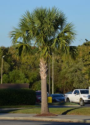 Mature specimen of Sabal palmetto. Photo from selectree.calpoly.edu