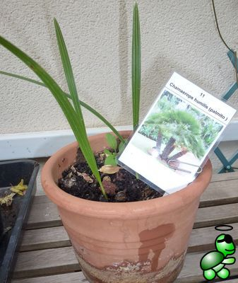 Photo of Chamaerops humilis from my collection (2014-03-02)