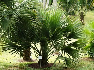 Mature specimen of Sabal minor. Photo from www.palmpedia.net
