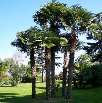 Mature specimen of Trachycarpus fortunei. Photo from suntrees.co.za