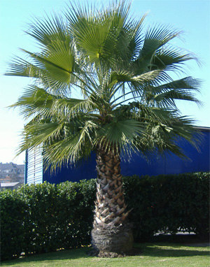Mature specimen of Washingtonia filifera. Photo from www.uhu.es