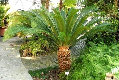 Mature specimen of Cycas revoluta. Photo from commons.wikimedia.org