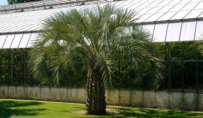 Mature specimen of Butia Capitata Nana. Photo from www.alventreprise.fr