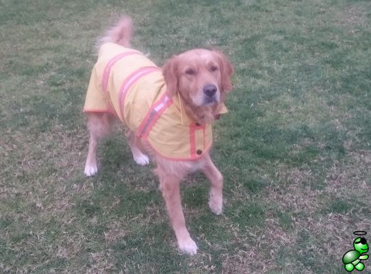 My golden retriever posing with her raincoat