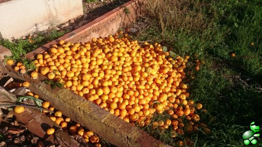 Some 50 kg of non-perfect but perfectly eatable oranges thrown away